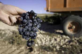 Almansa Grapes 2007
