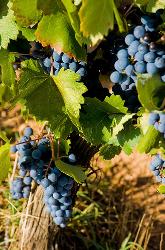 Chozas vineyards