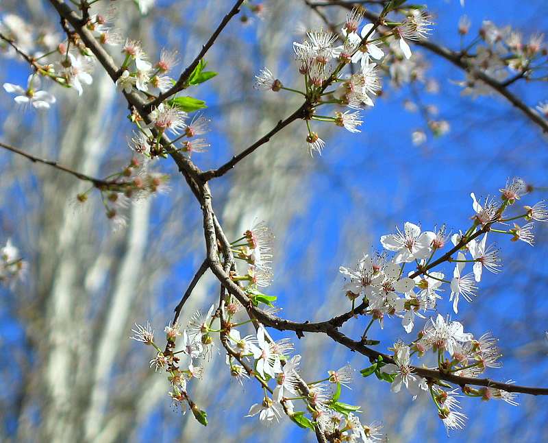 Almond Flowers in Castilla y Leon