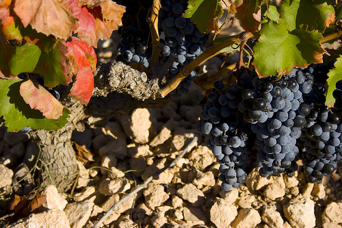 Grapes of Alicante