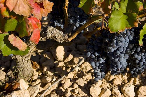 Grapes of Alicante