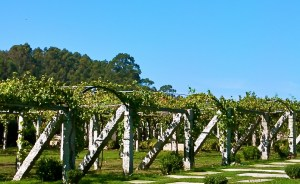 albarino-vines-on-traditional-pergola (3)