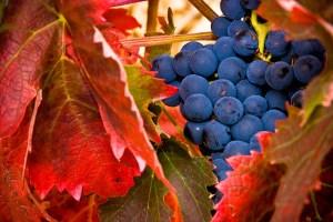Rioja Harvest