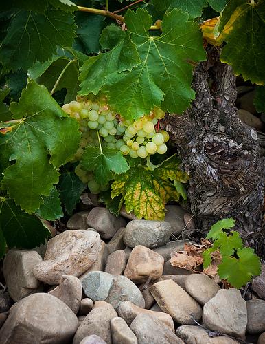 White grape rioja