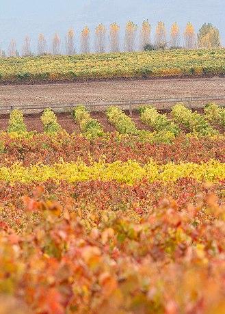 white rioja vineyards