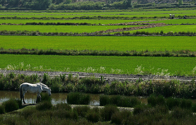 Rice fields portugal