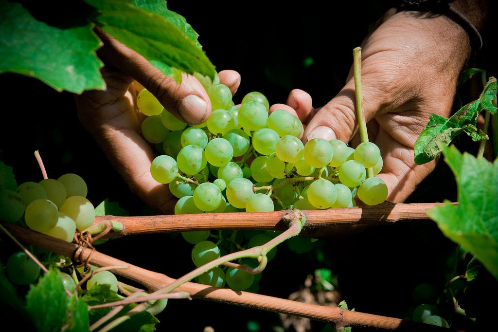 Xarel.lo - Spanish Grape