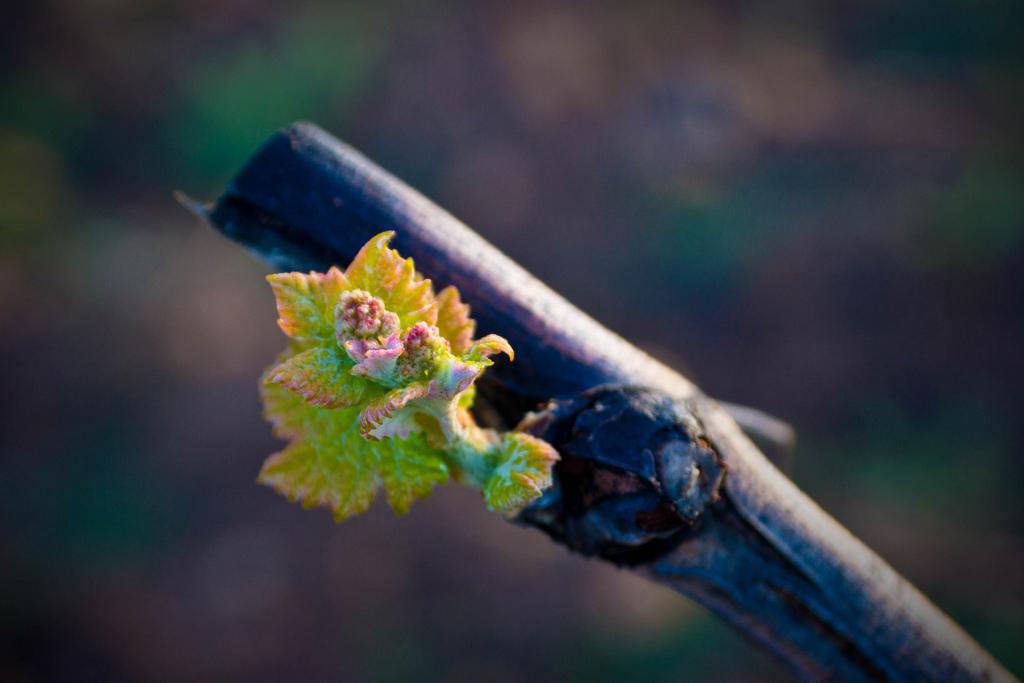 Bobal - Spanish Grape