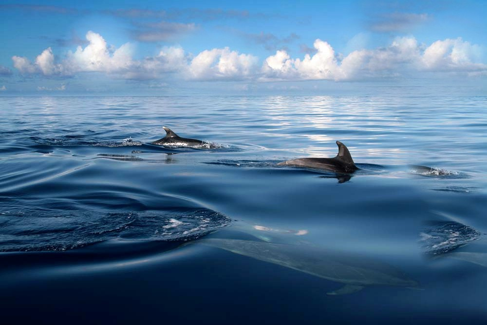Dolphins of Portugal