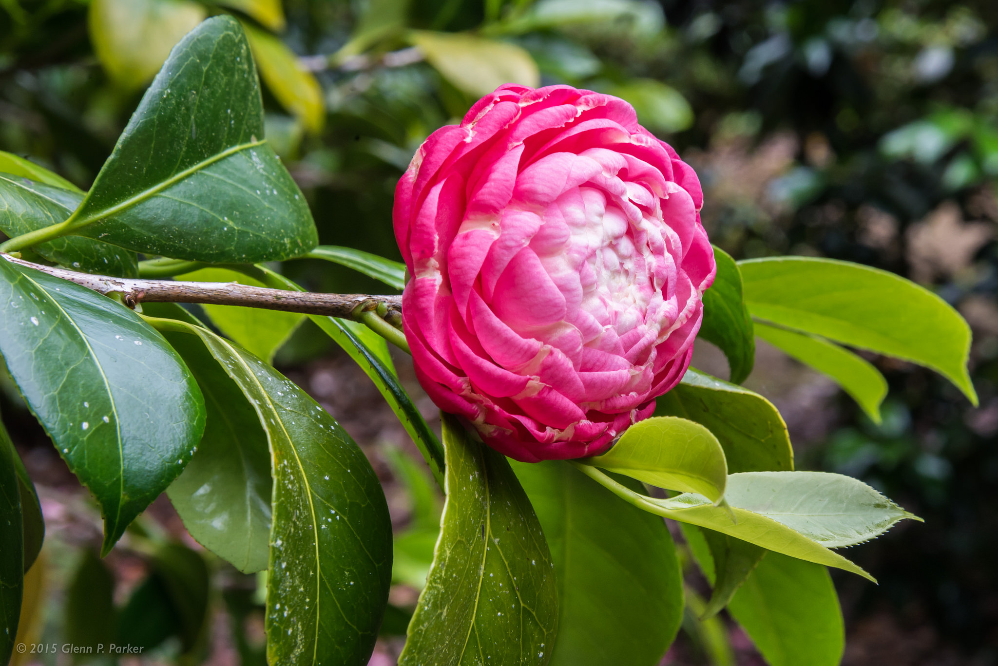 camellia portugal